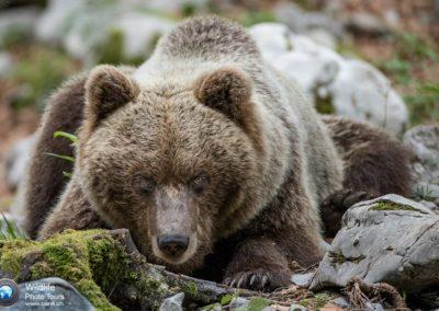 European brown bear, Slovenia