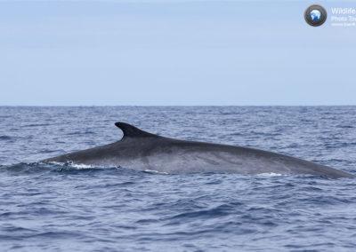 Balena comune, fin whale (Balaenoptera physalus)