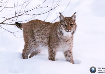 Lynx (Lynx Lynx), Nationalpark Bayerischer Wald, Germany, Europe