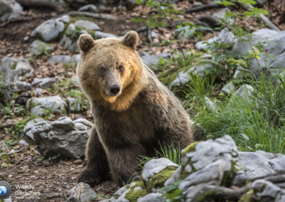 European brown bear, Slovenia