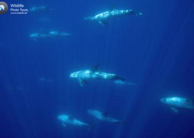 Risso's Dolphin, Grampus griseus, Pico Island, Azores, Portugal, Atlantic Ocean