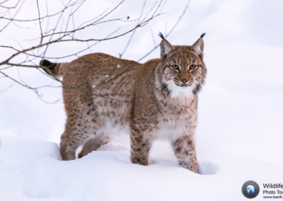 Lynx (Lynx Lynx), Nationalpark Bayerischer Wald, Germany, Europe